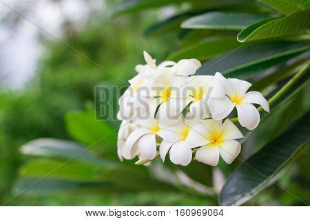 White Plumeria or frangipani. Sweet scent from white Plumeria flowers in the garden.(selective focus, vintage effect)