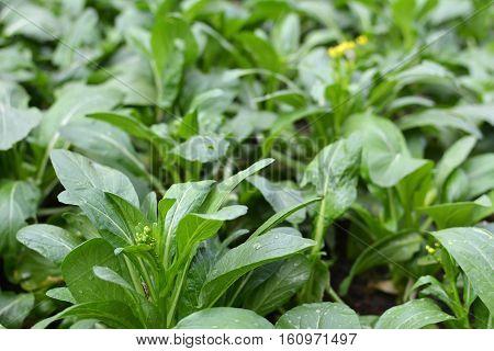 Fresh green lettuce cantonese vegetable  in farm