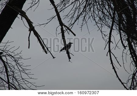 Crow on the branch in a city park