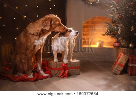 Dogs Nova Scotia Duck Tolling Retriever And Jack Russell Terrier Christmas, New Year, Holidays And C