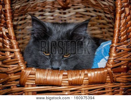 a large gray cat hid in a wicker basket