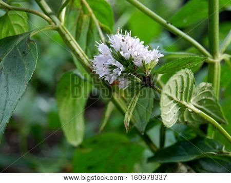 Mint Plant White Flower in garden natural herbs healing calming aroma therapy botany nature background