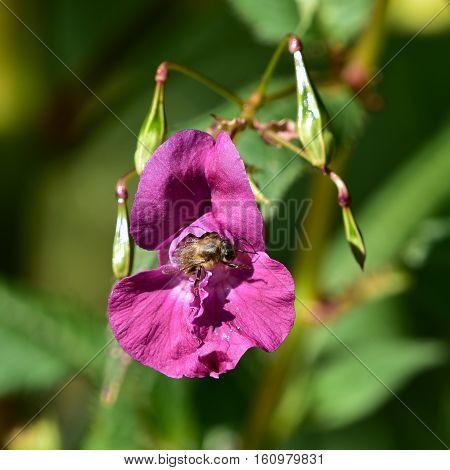 Impatiens glandulifera or policeman helmet flower with bee