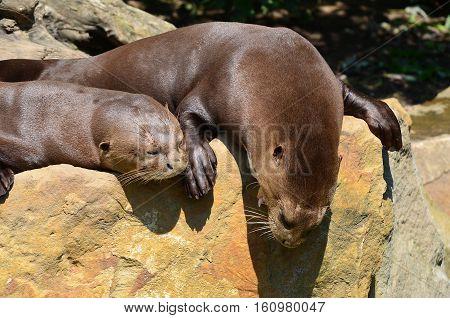 sea otter,carnivorous mammals in the subfamily Lutrinae