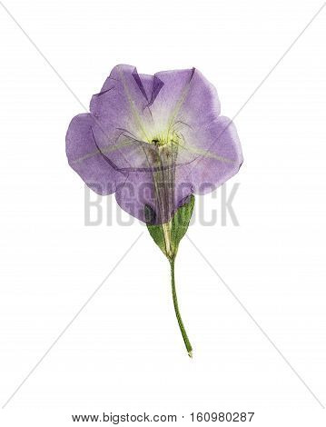 Pressed and dried flower petunia isolated on white background. For use in scrapbooking floristry (oshibana) or herbarium.