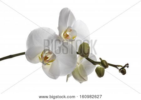 Gorgeus White Orchids Isolated On A Clear White Background
