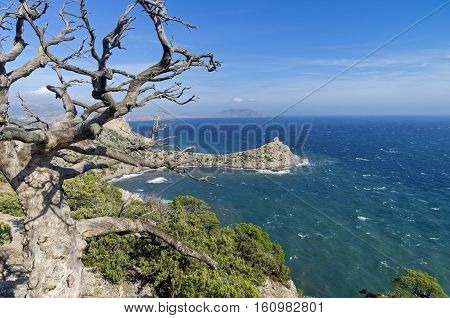 Dried relict pine tree over the sea. Crimea September.