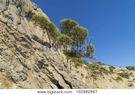 Relict pine trees on a steep mountain slope. Crimea