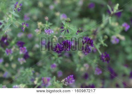 Flowers In Nubra Valley