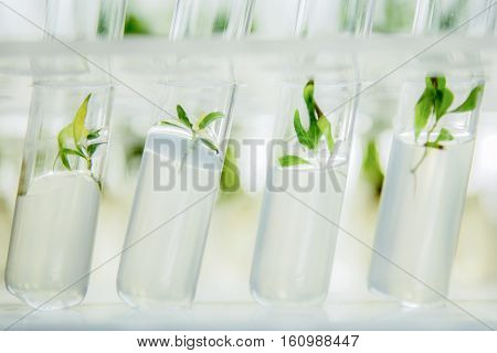 Close up view to microplants of cloned poplar in vitro in a nutrient medium