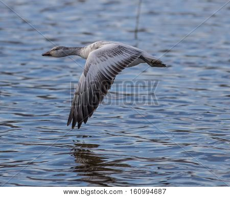 Snow Goose in flight over a lake