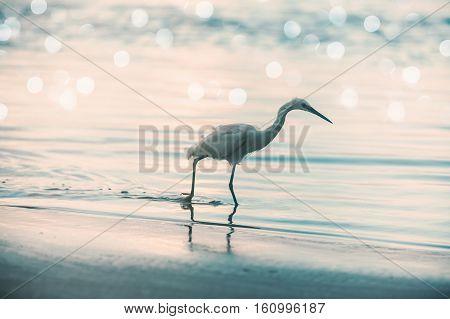 wild white heron walking through the water