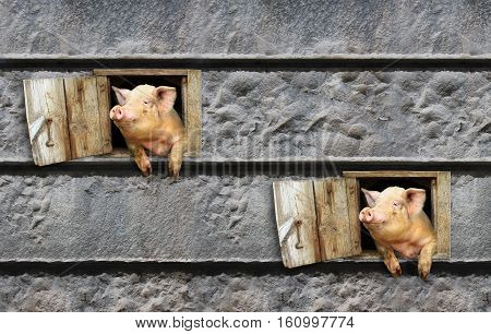 joy two pigs look out from window of shed on the stony wall