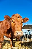 friendly cattle on straw with blue sky poster