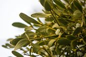 Mistletoe (Viscum album) plant with berries on tree. Evergreen hemi-parasitic shrub in the family Santalaceae growing on hawthorn poster