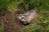 North American Badger (Taxidea taxus) Displays Claws - captive animal poster