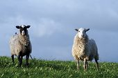 Two sheeps in the field on a green grass poster