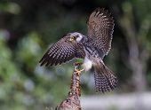 Female Amur falcon (Falco amurensis) Very Rare Passage Migrant poster