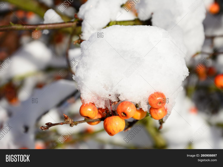 Snow Laden Crab Apple Image & Photo (Free Trial) | Bigstock