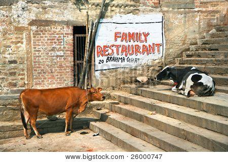 Typical scene with holy cows in holy city of Varanasi, Uttar Pradesh, India