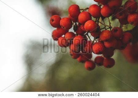 Red Mountain Ash On A Branch, Macro Photo With Selective Focus.autumnal Colorful Red Rowan Branch. R