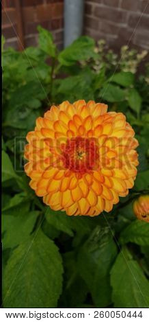 Orange Flower Head In Close-up Of Dahlia Plant In A Garden In The Hague, The Netherlands