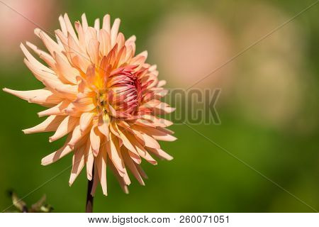 Close-up Of A Beige Semi Cactus Dahlia Flower (asteraceae) In The Morning Light.  View To Blooming C