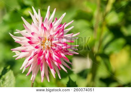 Close-up Of A Beautiful Purple Semi Cactus Dahlia Flower (asteraceae) In The Morning Light.  View To