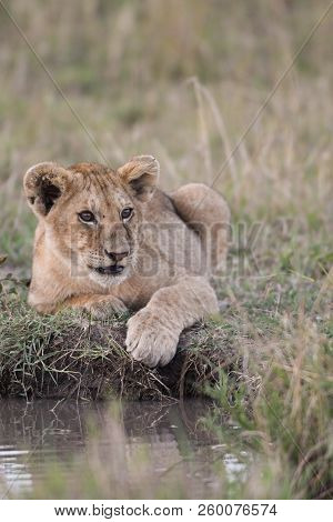 A Lion Cub Sitting By A Watering Hole In Masai Mara Game Reserve, Kenya