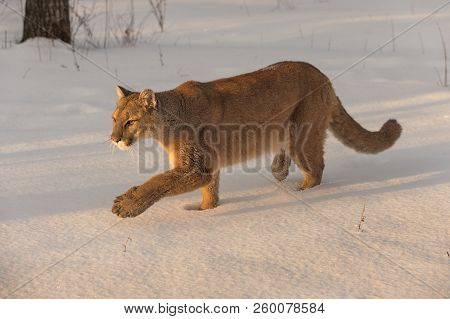 Adult Female Cougar (puma Concolor) Stallks Left - Captive Animal