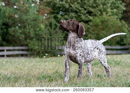 German Shorthaired Pointer, German Kurtshaar One Brown Spotted Puppy, Stands With Its Head Held High