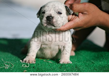 White American Bully Puppy Standing On Grass. Pet Puppy Concept.