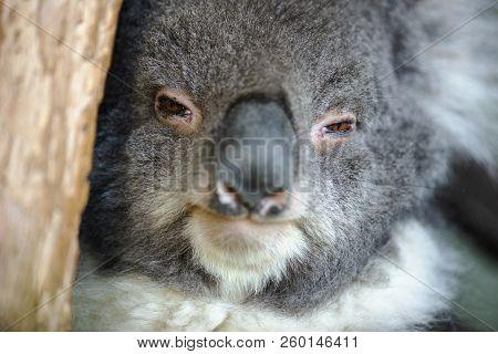 Cute Australian Koala Resting During The Day.