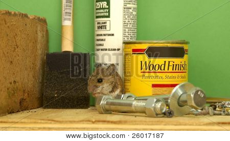 House mouse hiding in the workshop among small can of stain and other supplies. poster