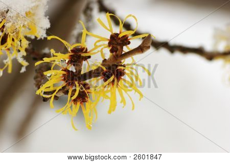 Snow covered hamamelis mollis blossoms in winter month poster
