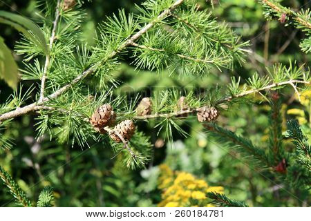Tiny Pinecones On A Pine Tree In One Of Europes Conifer Forests