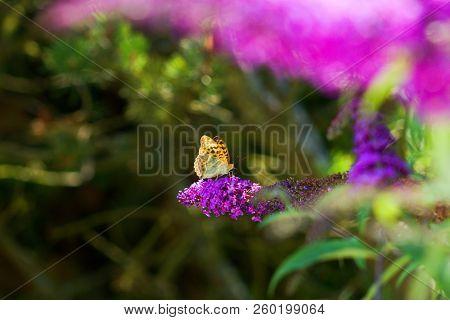 Melitaea Didyma Butterfly On A Flower Of Butterfly Bush.melitaea Didyma, The Spotted Fritillary Or R