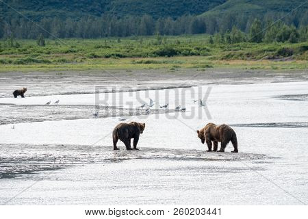Alaska Coastal Brown Bears Hunt For Salmon Fish In The River Banks In Katmai National Park