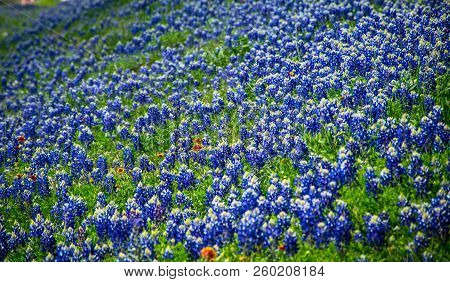 Bluebonnets Growing Along Hill Side In Central Texas Outside Of Austin , Texas , In Spring Time Bloo