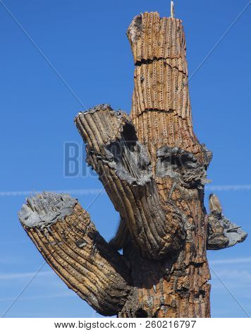 Old Dead & Dying Giant Saguaro Cactus Home For Birds