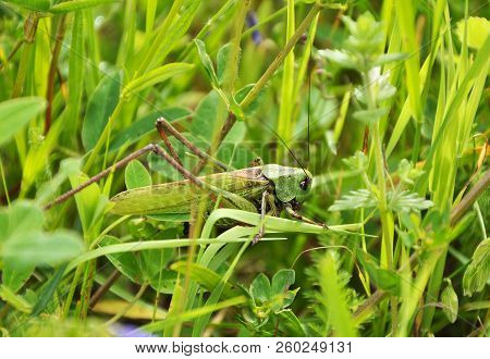 Big Green Grasshopper Is Sitting In The Grass