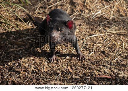 Tasmanian Devil Outside During The Day In Tasmania.