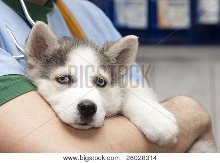 Husky puppy at vet poster