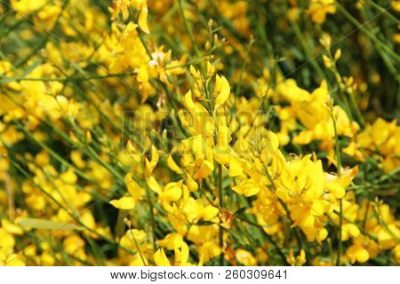 Photo Of Background Flowering Yellow Broom Flower