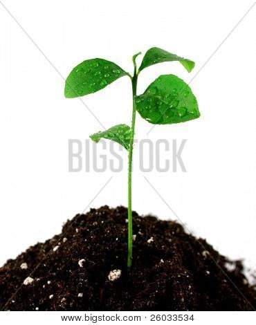 Plant in soil on white background