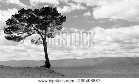 Lonely Tree On Bay. View Of Alone Pine Tree On Shore Of Lake Baikal, Russia. Scenic Beach Along Gulf