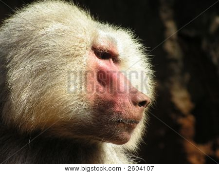Mantle Mangabey