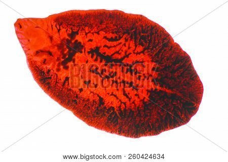 Liver Fluke(parasitic Flatworm) Of Cattle And Other Grazing Animals.
