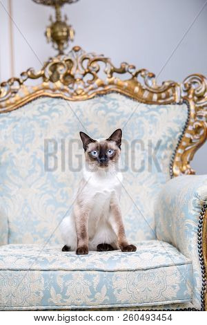 Beautiful Rare Breed Of Cat Mekongsky Bobtail Female Pet Cat Without Tail Sits Interior Of European