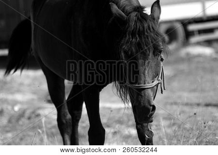 The Horse In The Field Eats Grass. Domestic Horse Graze. Summer Sunny Day And The Horse Walks Throug